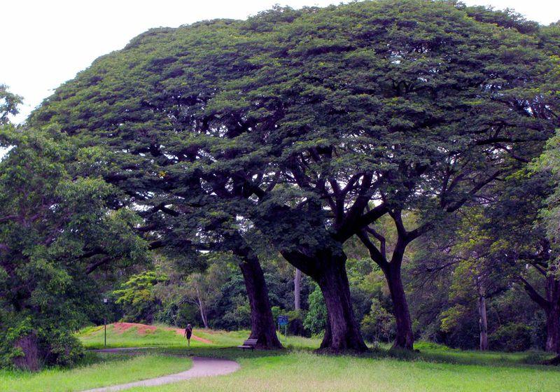 2010_02_26-rain-trees-near-Palmetum1