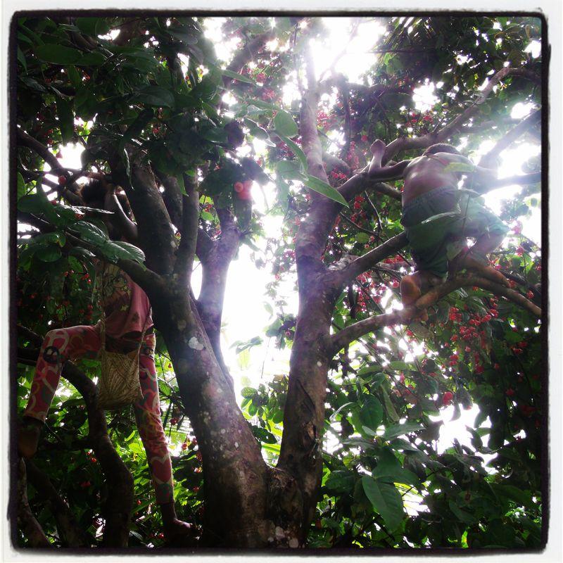 Laulau tree